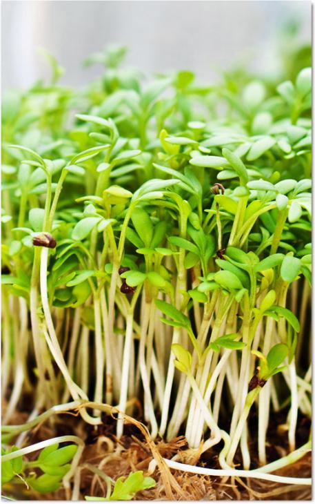 Salata Kres