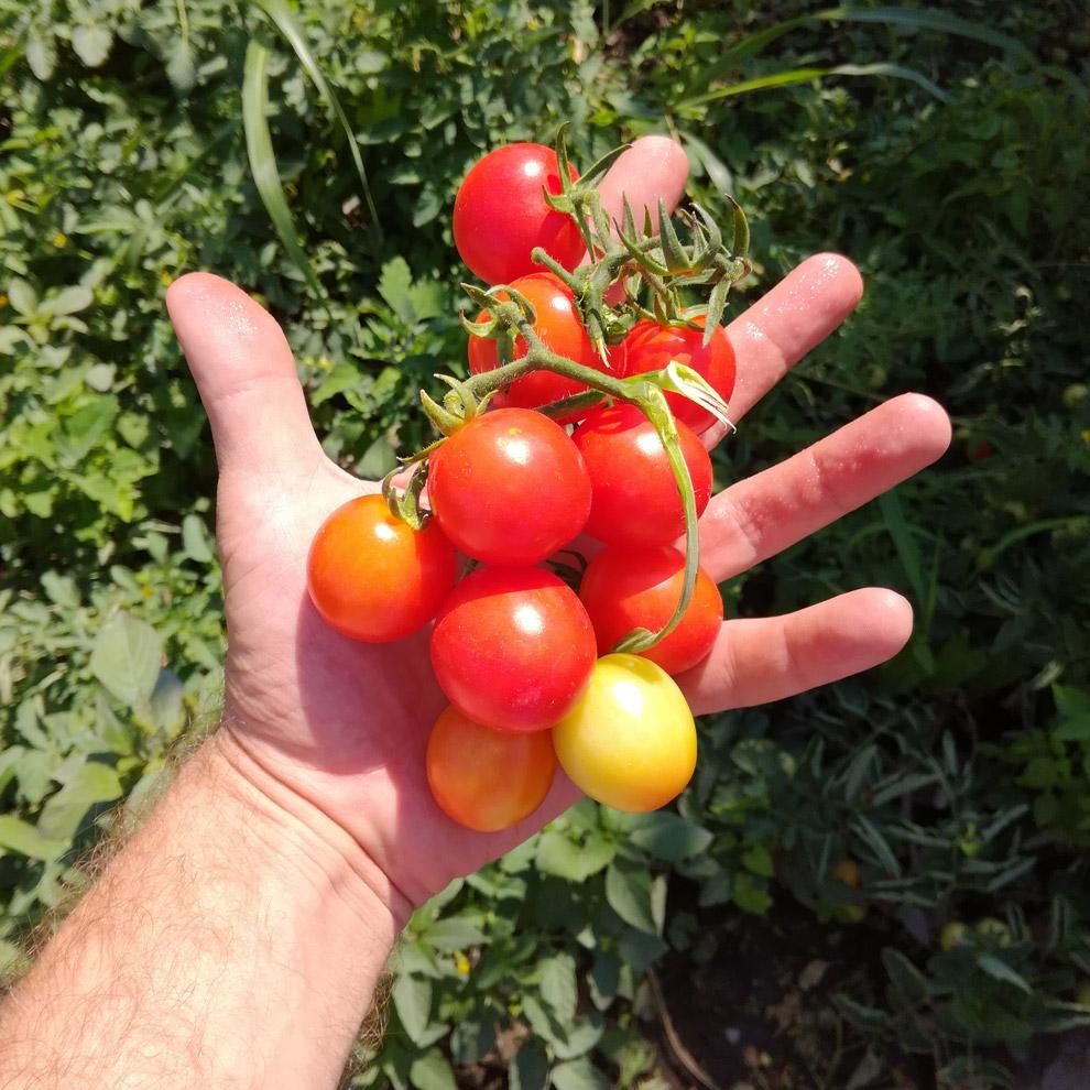proizvodnja semena 12