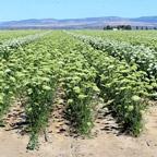 proizvodnja semena 7 1