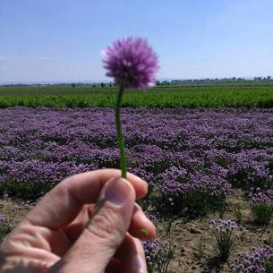 proizvodnja semena 9
